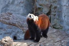Panda minore su un ceppo 3 Immagine Stock Libera da Diritti