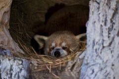 Panda minore in una città Fotografie Stock