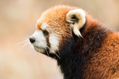 Panda minore VIII Fotografia Stock