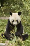 Panda mit Bambus Lizenzfreie Stockbilder