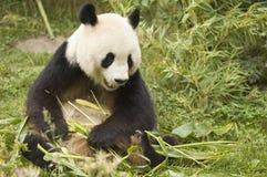 Panda mit Bambus Stockfoto