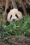 Panda mit Bambus Lizenzfreie Stockfotos