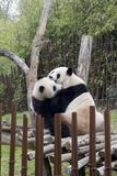 Panda mom και μωρό Στοκ φωτογραφίες με δικαίωμα ελεύθερης χρήσης