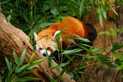 Panda from nature. Beautiful Red panda lying on the tree with green leaves. Red panda bear, Ailurus fulgens, habitat. Detail face. Portrait Royalty Free Stock Photos