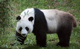 Panda in nature Stock Photos