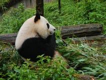 Panda nella riserva di Sichuan, Cina immagini stock