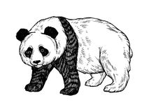 Panda niedźwiedź graweruje wektorową ilustrację Zdjęcia Royalty Free