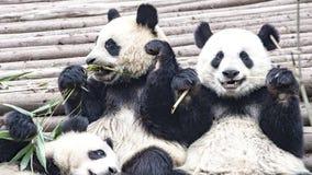 Panda niedźwiedź je bambusa, pandy Badawczy centrum Chengdu, Chiny Fotografia Royalty Free