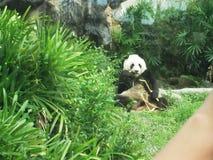 Panda niedźwiedź je bambusa w zoo zdjęcia royalty free