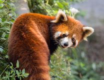Panda orange étonnant Image stock