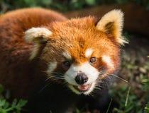Panda orange étonnant Image libre de droits