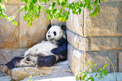 Panda in outdoor. Royalty Free Stock Photos