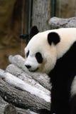 Panda på trädfilialer Arkivbilder