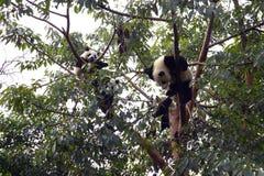 Panda på träd Royaltyfria Foton