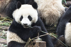 Panda (panda géant) Photo stock