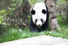 Panda (panda gigante) Fotografie Stock