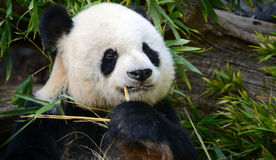 Panda With a Pick. A fluffy panda picks his teeth with a bamboo shoot Royalty Free Stock Photo