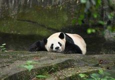 Panda Royalty Free Stock Photography