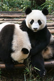 Panda Play Stock Photography