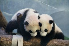 Panda Play. Panda twins at play at the Atlanta Zoo, Atlanta Royalty Free Stock Images