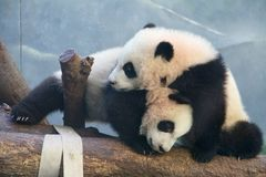 Panda Play. Panda twins at play at the Atlanta Zoo, Atlanta Royalty Free Stock Photography