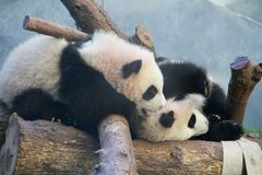 Panda Play. Panda twins at play at the Atlanta Zoo, Atlanta Royalty Free Stock Image