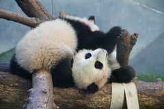 Panda Play. Panda twins at play at the Atlanta Zoo, Atlanta Stock Image