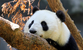 Panda portrait Royalty Free Stock Images