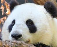 Panda portrait Stock Image