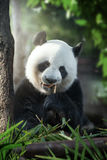 Panda. Portrait of nice panda bear eating in summer environment Stock Images