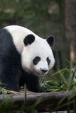 Panda. Portrait of nice panda bear walking in summer environment Stock Image