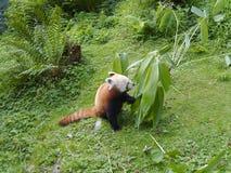 Panda Portrait rojo fotos de archivo libres de regalías