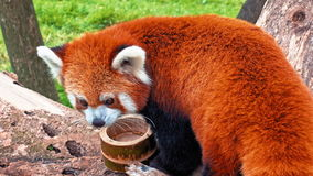 Panda Portrait rojo almacen de video