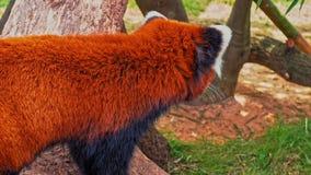 Panda Portrait rojo almacen de metraje de vídeo