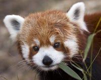 Panda Portrait vermelho Fotografia de Stock