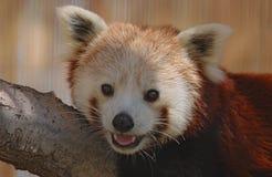 Panda Portrait vermelho Imagens de Stock Royalty Free