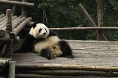 Panda preguiçosa Fotos de Stock Royalty Free