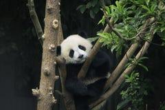 Panda preguiçosa Imagens de Stock