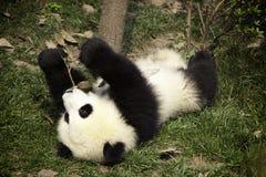 Panda preguiçosa Foto de Stock