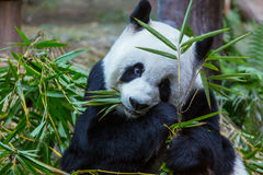 Panda. Pretty Giant Panda Royalty Free Stock Image