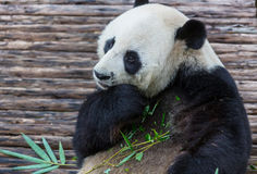 Panda. Pretty Giant Panda Royalty Free Stock Photography
