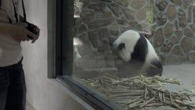 Panda prigioniero che si siede in una recinzione concreta archivi video