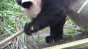 Panda que busca para el nuevo bambboo y que come el bambú mientras que pone en el suyo detrás en Chengdu China almacen de metraje de vídeo