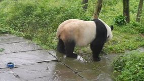 Panda que camina en una reserva en Sichuan, China