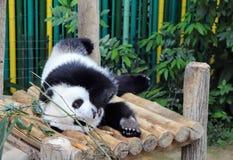 Panda que coloca y que come imagen de archivo