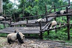 Panda que come e que dorme somente foto de stock