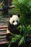 Panda que come el bambú Fotos de archivo libres de regalías
