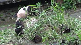 Panda que come el bambú mientras que pone en el suyo detrás en Chengdu China almacen de metraje de vídeo