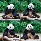 Panda que come o bambu Foto de Stock Royalty Free