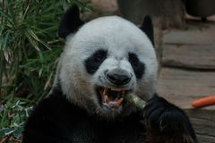 Panda que come o bastão Foto de Stock Royalty Free